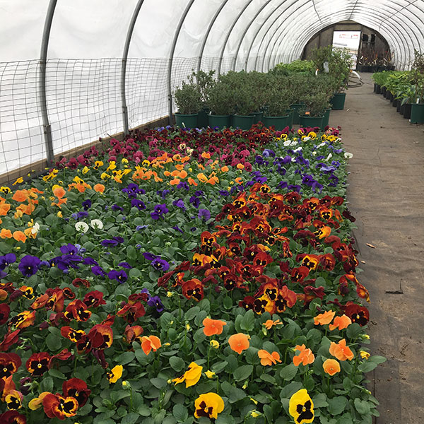 Hattoy's Greenhouses growing annuals