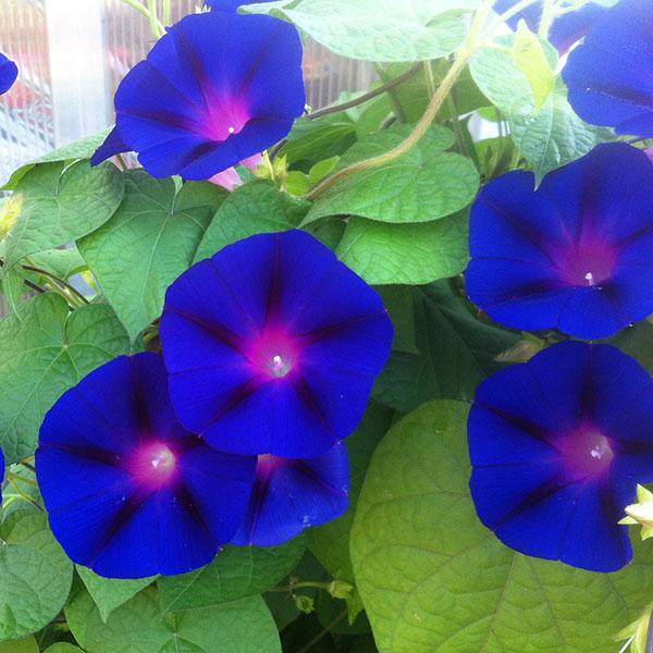 Hattoy's grows annuals nursery ri