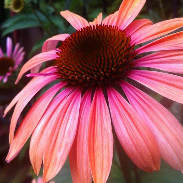 Hattoy's Nursery carries perennials