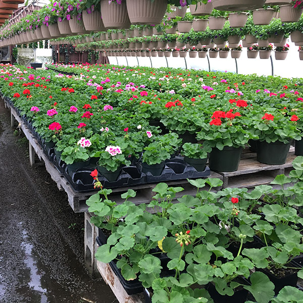Hattoy's keeps annuals growing