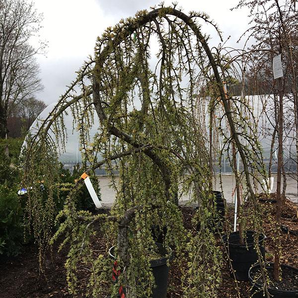 Hattoy's stocks ornamental trees