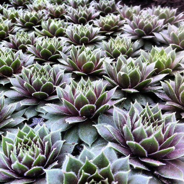 Hattoy's Garden Center carries succulents
